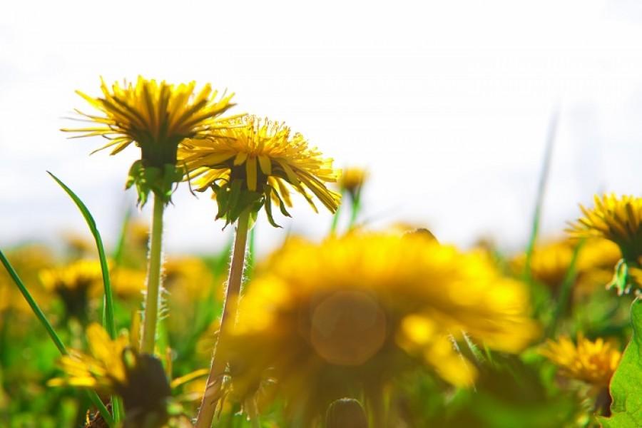 Megérkeztek a tavasz első gyógynövényei. Emésztésserkentő és tisztító hatású a gyermekláncfű. Bátran fogyasszuk!