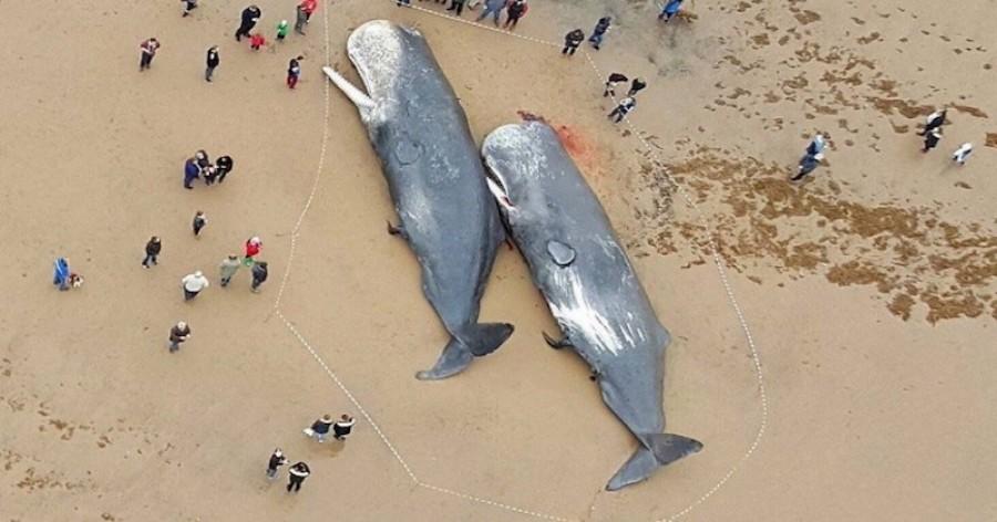 29 bálnát találtak az Északi-tenger partjain! Döbbenet mit találtak a gyomrukban!