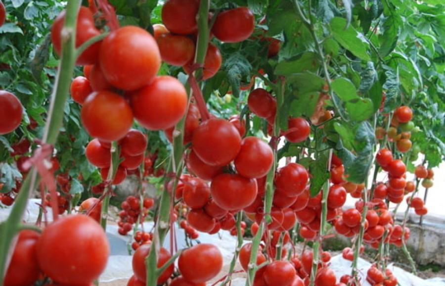 Élesztős keverékkel locsoljuk a paradicsomot? Véd a betegségektől és növeli a hozamot!