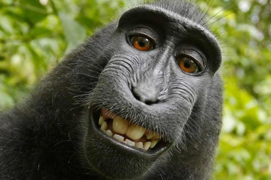 Ez a majom képes volt selfie-t készíteni. Per lett belőle! Ki is a majom?