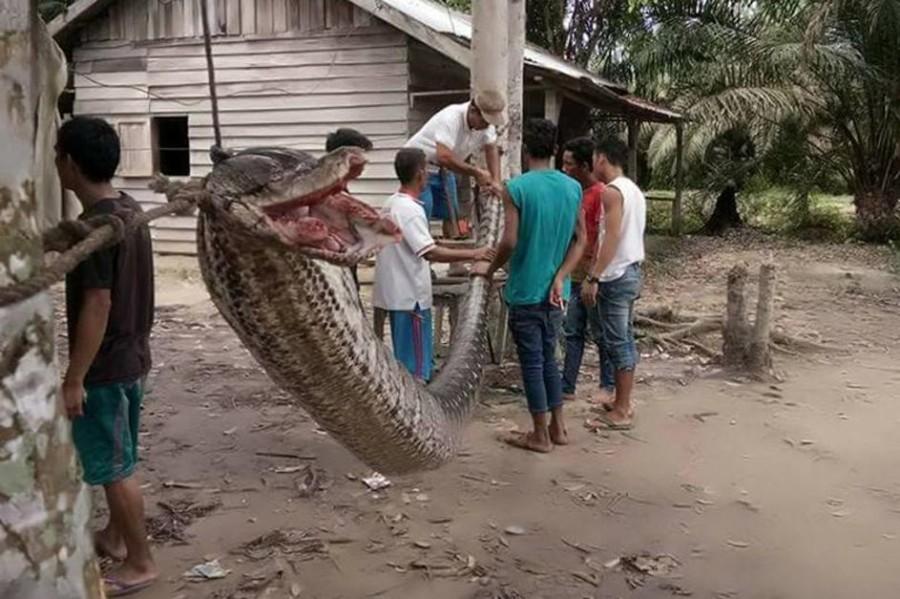 Elképesztő! A hős biztonsági őr puszta kézzel gyűrte le a hatalmas kígyót!