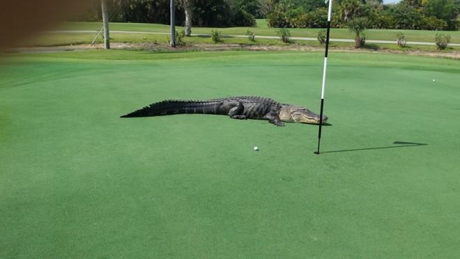 A golfozó észrevette az aligátort a pályán, ami ezután történt az váratlanul ért mindenkit!